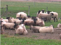Using CIDRs in the Sheep Flock