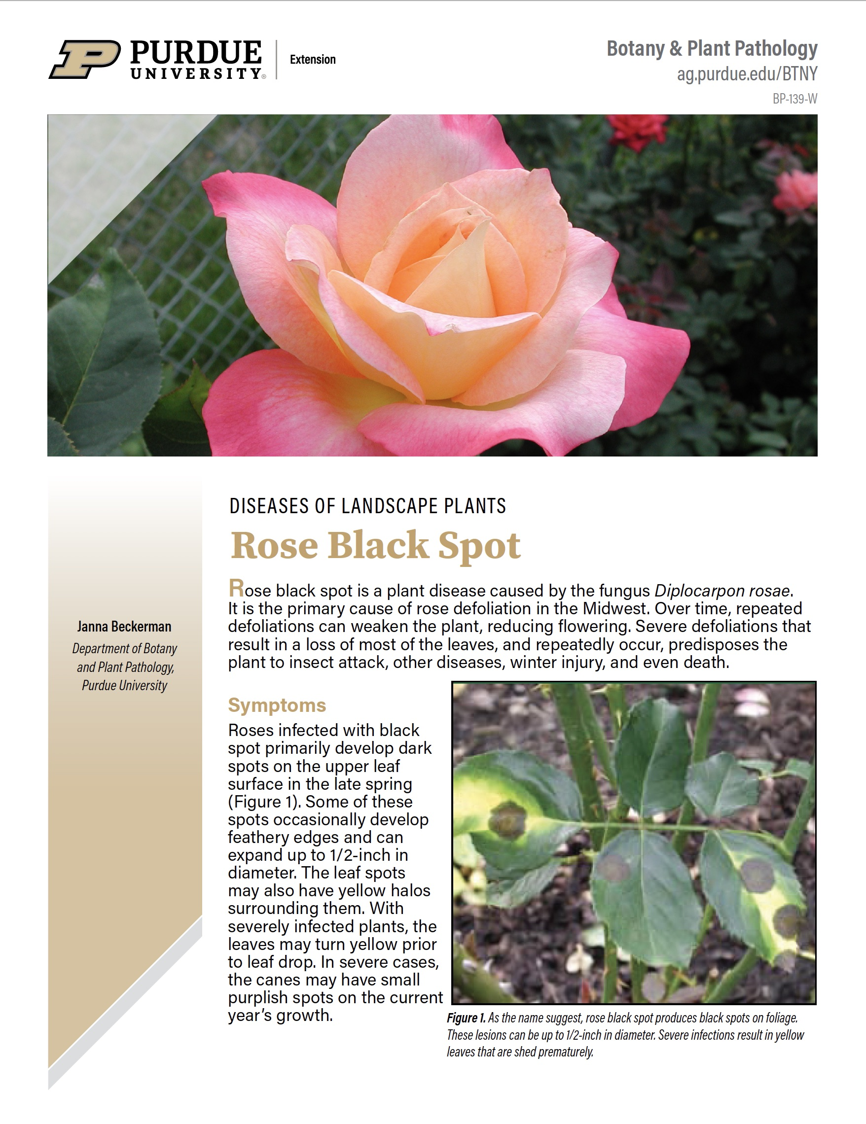 Diseases of Landscape Plants: Rose Black Spot