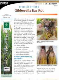 Diseases of Corn: Gibberella Ear Rot