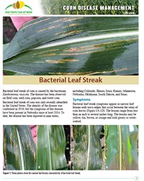 Corn Disease Management: Bacterial Leaf Streak