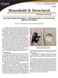 Solitary Bees and Wasps: Carpenter Bee, Cicada Killer and Mud Daubers
