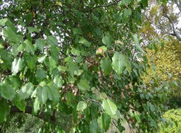 Invasive Plant Species: Callery Pear