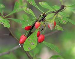 Woodland Stewardship for Landowners: Japanese Barberry