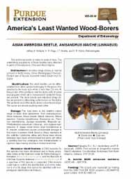 America's Least Wanted Wood-Borers: Asian Ambroisa Beetls, Anisandrus maiche (Linnaeus)